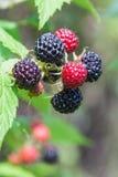 Black raspberry of berries ripening Stock Photos