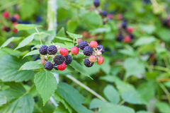 Black raspberry of berries ripening Royalty Free Stock Photography