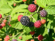 Black raspberry bunch of berries. Ripening on a sunny day Royalty Free Stock Photography