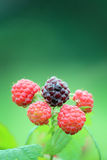 Black Raspberry Closeup. A closeup of a ripening black raspberry bush Royalty Free Stock Photo