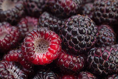 Black raspberry Cumberland Royalty Free Stock Photo