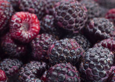 Black raspberry Cumberland. Closeup background Stock Images