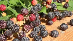 Black raspberry fruits stock footage