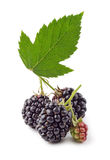 Black raspberry isolated Royalty Free Stock Images