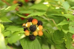 Black raspberry - ripe berries in the garden in summer Sunny day.  Stock Photography