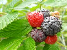 Black Raspberry (Rubus occidentalis) Stock Photos