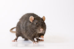 Black rat. Black smiling rat on white background Stock Photos