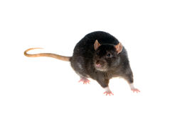 Black rat Stock Photography