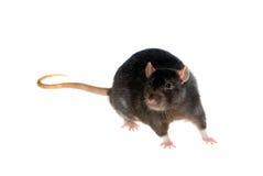 Black rat. Portrait of a black rat on a white background Stock Photography