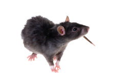 Black rat. Young black rat close-up isolated on white Royalty Free Stock Photography