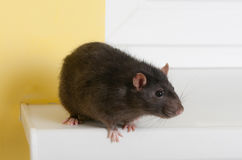 Black rat Stock Photography