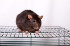 Black rat. Black domestic rat on a cage close up Stock Image