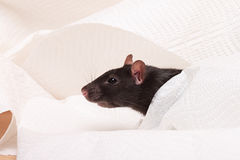 Black rat Royalty Free Stock Photos