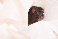 Black rat Royalty Free Stock Image