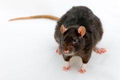Black rat. Portrait of a black rat on a white background Stock Photos
