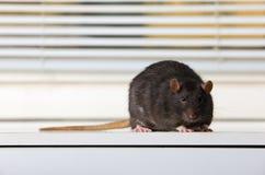 Black rat. On a white table Stock Image