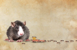 Black rat Stock Image