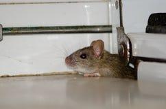 Black rat. Black rat Rattus rattus. Pajonales. Integral Natural Reserve of Inagua. Tejeda. Gran Canaria. Canary Islands. Spain Royalty Free Stock Photos