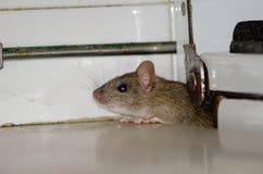 Black rat. Black rat Rattus rattus. Pajonales. Integral Natural Reserve of Inagua. Tejeda. Gran Canaria. Canary Islands. Spain Royalty Free Stock Images