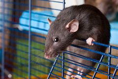 Black rat of breed Dumbo. In cage Stock Photos