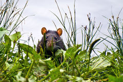 Black rat cautiously peeking out of the grass Stock Images