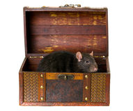 Black rat in chest. Black rat in an old wooden chest Royalty Free Stock Photos