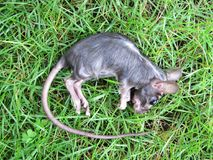 Black Rat corpse on the grass. Photography Stock Image