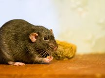 Black rat domestic pet eats looks closely at a wooden brown table. Close-up Stock Image