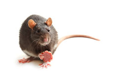 Black rat eating sausage Stock Photography