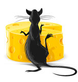 Black rat eating yellow cheese  illustration Royalty Free Stock Images