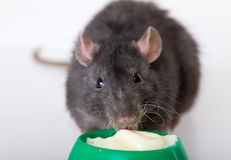 The black rat eats yoghurt. From a bowl Stock Image