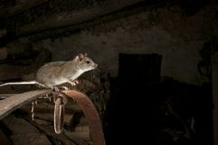 Black rat or field rat Portrait in an old haystack, Rattus rattu stock image