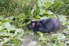 Black rat in the grass Stock Photos