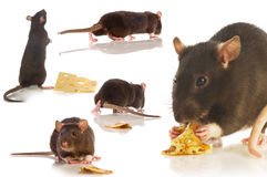 Black rat isolated collage. Black rat  collage on a white background Royalty Free Stock Image