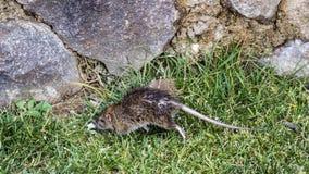 Black Rat on Lawn. Black rat Rattus rattus is feeding on green meadow Stock Photo