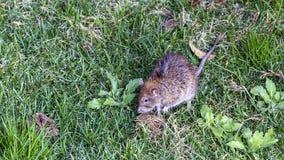 Black Rat on Lawn. Black rat Rattus rattus is feeding on green meadow Royalty Free Stock Photo