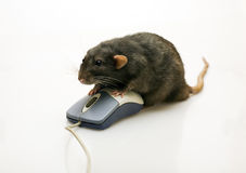 Black rat and a mouse Stock Image