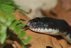 Black rat snake Stock Photos