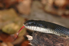 Black Rat Snake Royalty Free Stock Images