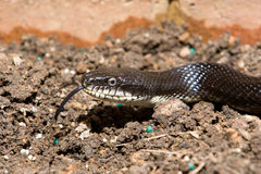 Black rat snake. With tongue extended Royalty Free Stock Photography