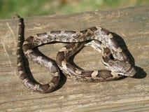 Black Rat Snake. A Juvenile black rat snake basks in the sun Royalty Free Stock Image