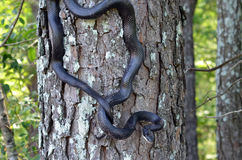 Black Rat Snake climbing tree. Black Ratsnake, Elaphe Pantherophis obsoletus, black scales not venomous, climbing tree to hunt for birds and eat birds` eggs stock photos