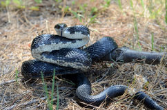 Black Rat Snake coiled to strike Royalty Free Stock Photos