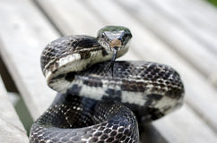 Black Rat Snake colied to strike forked tongue Royalty Free Stock Photo