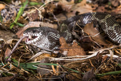 Black rat snake feeding Stock Image