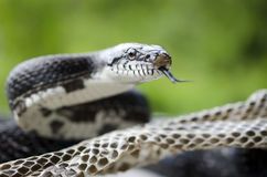 Black Rat Snake forked tongue shedding skin Stock Photos