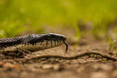Black Rat Snake Royalty Free Stock Image