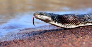 Black rat snake Stock Photo