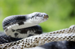 Black Rat Snake shedding skin Stock Image