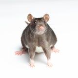 Black rat on white. Background Royalty Free Stock Photo